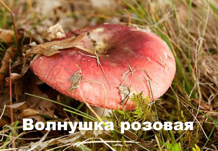 Внешний вид розового гриба