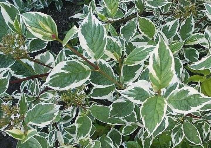 Листья дерна