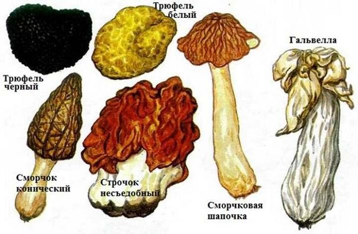 Виды грибов - сумчатые