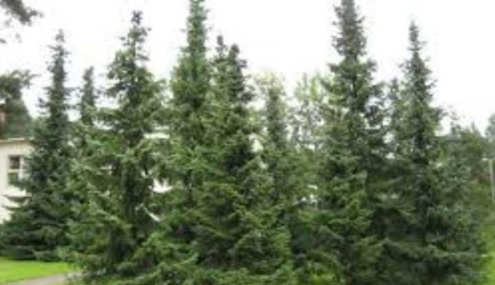 Лес сербской ели
