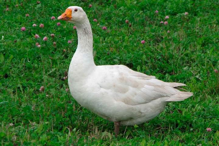 Порода домашних гусей - Адлерская