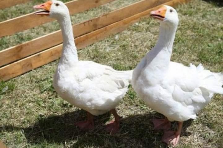 Порода домашних гусей - Арзамасская