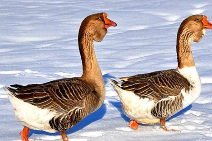 Порода домашних гусей - Холмогорская