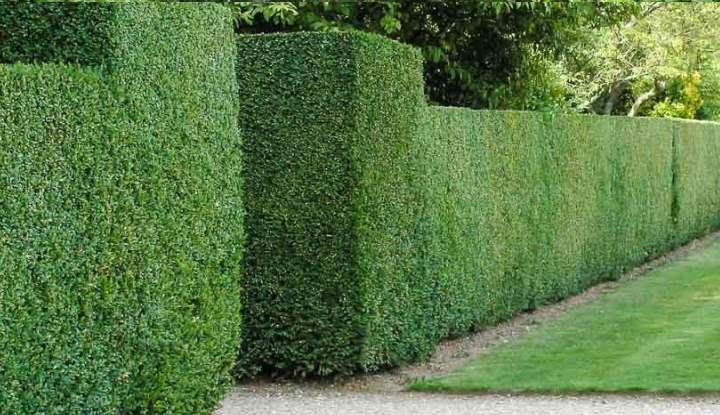 Геометрия в изгороди из растений