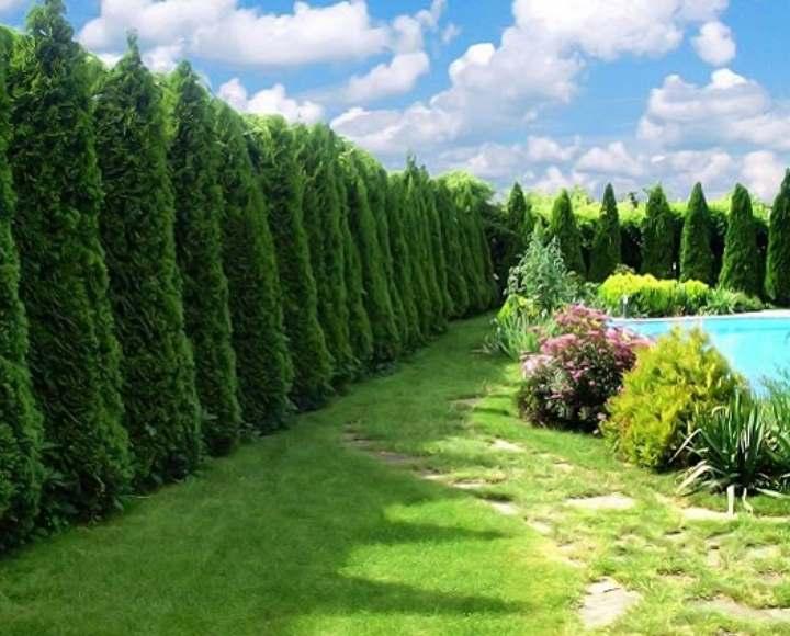 Туи в изгороди из растений