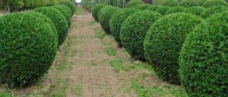 Круглые кусты в изгороди