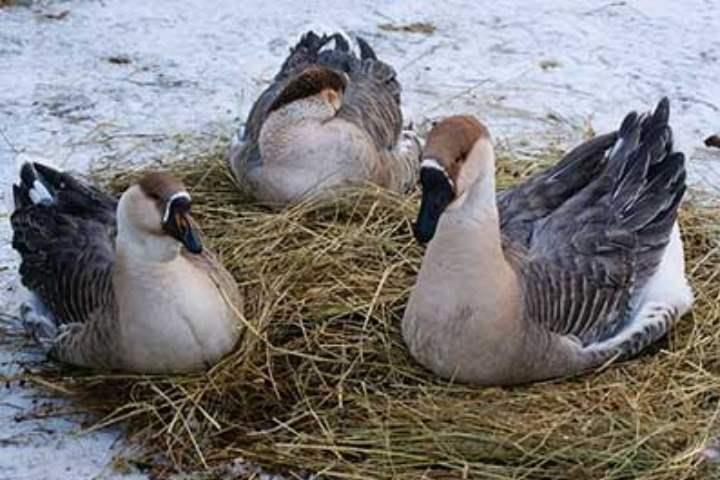 Порода домашних гусей - Китайская