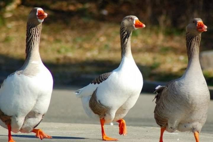 Порода домашних гусей - Краснозерская