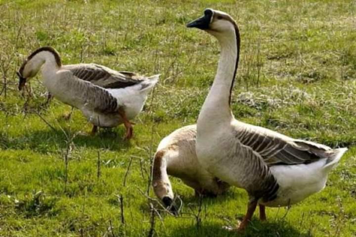 Порода домашних гусей - Кубанская