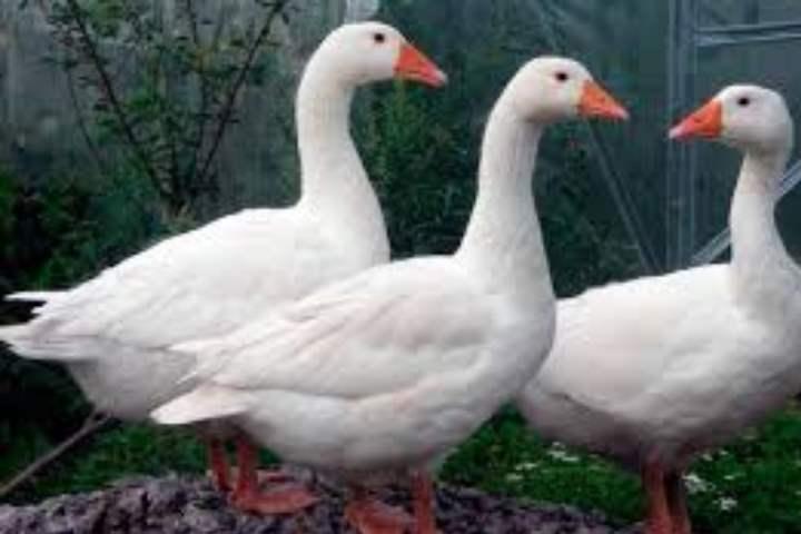 Порода домашних гусей - Легарт