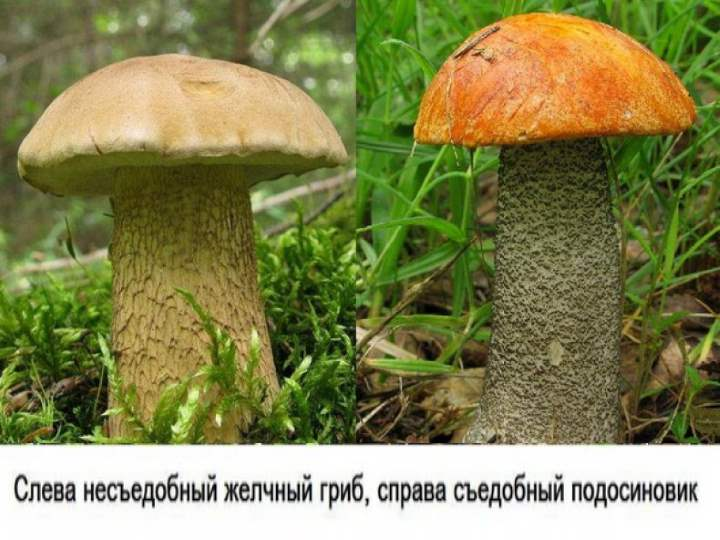 Виды подосиновика