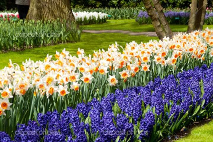 Весна и нарциссы