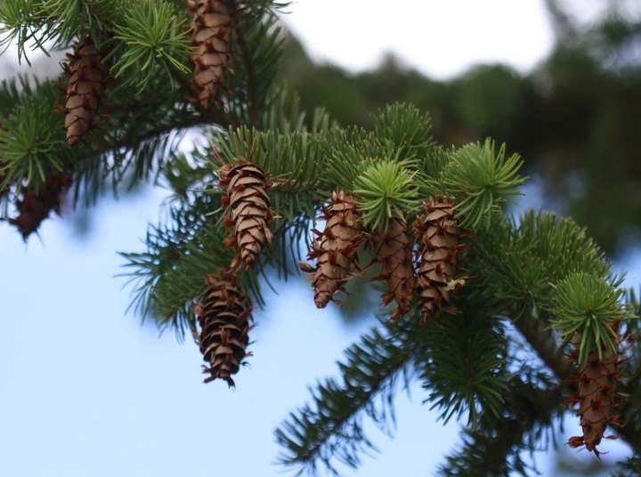 Ветви и шишки псевдотсуги