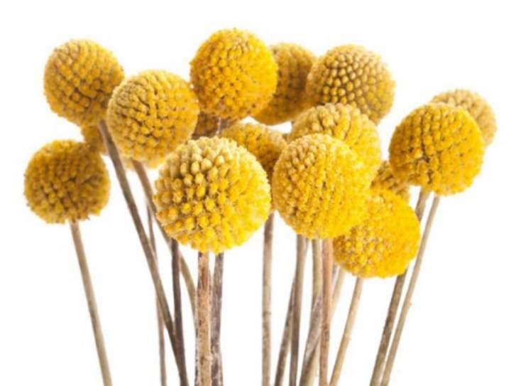 Желтые цветы-шарики