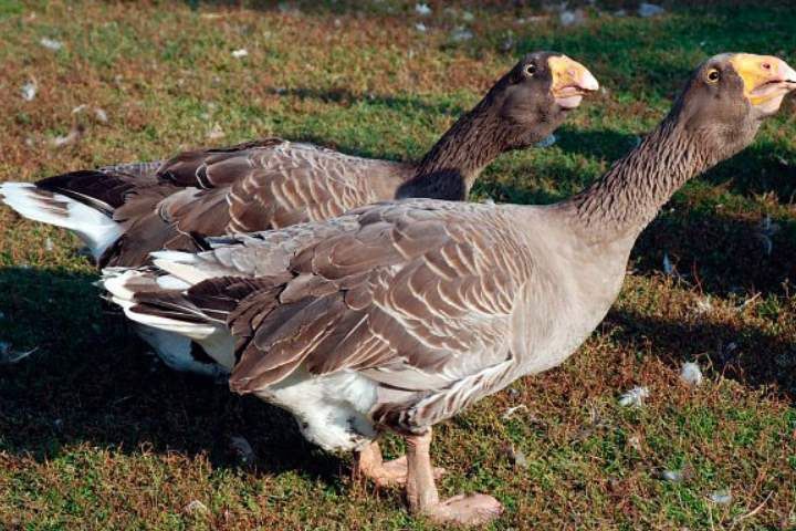 Порода домашних гусей - Тульская бойцовская