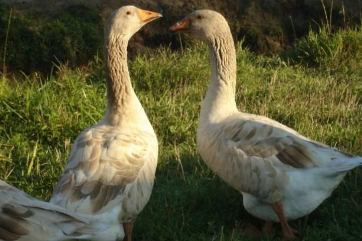 Порода домашних гусей - Владимирская глинистая