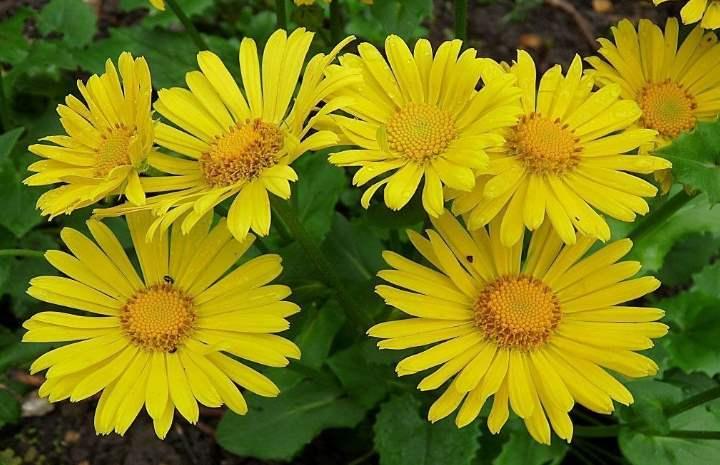 Цветение растения дороникум