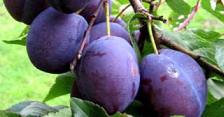 Сливовые плоды