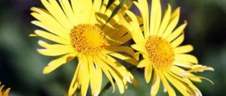 Внешний вид растения дороникум