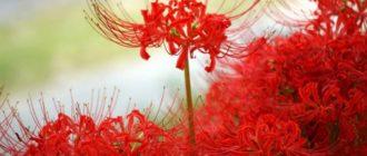 Красный ликорис