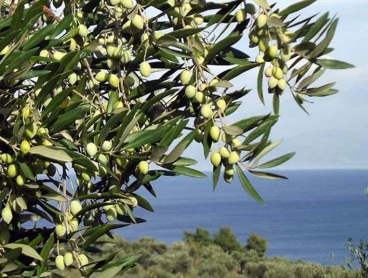 Олива на берегу моря