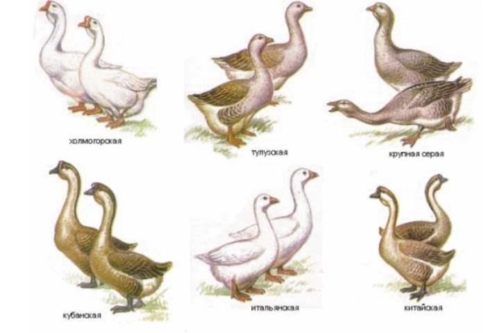 Рисунок пород гусей