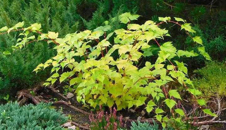 Внешний вид растения стефанадра