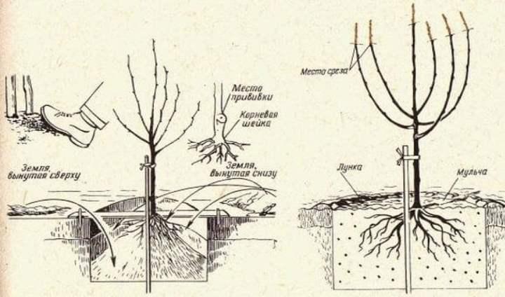 Рисунок посадки черешни