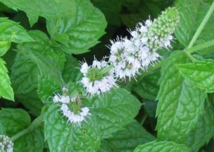 Цветы у мяты