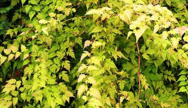 Зеленый куст стефанандры