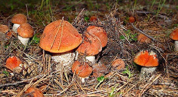 Рыжие шляпки белых грибов