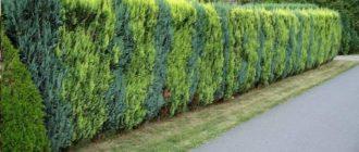 Стена кипарисов