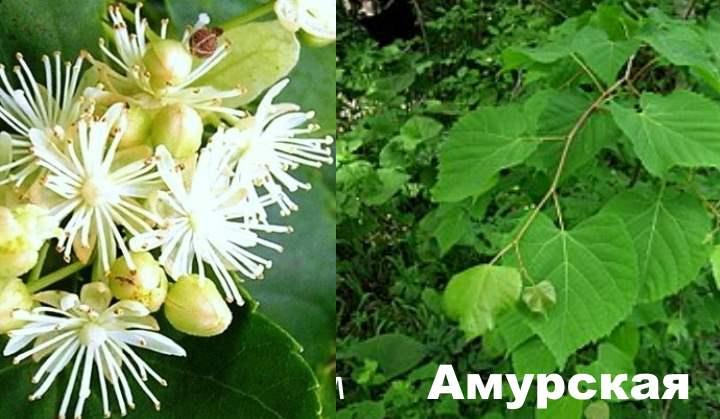Вид липового дерева - Амурская