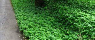 Лужайка пахизандра