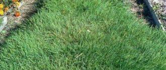 Участок с полевицей-травой