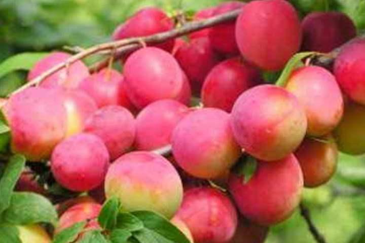 Плоды розовой сливы