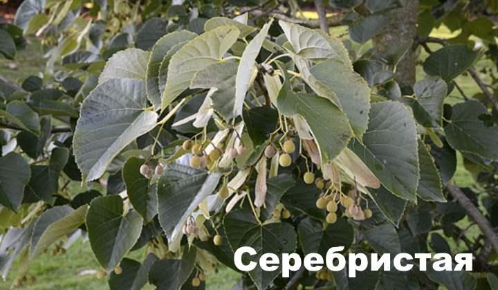 Вид липового дерева - Серебристая