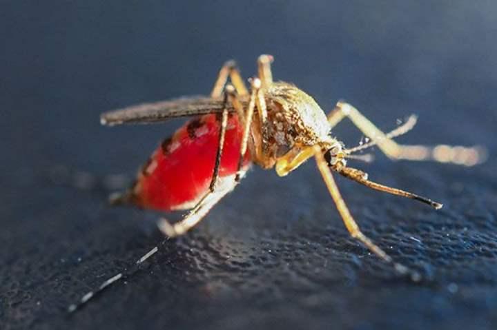 Брюшко комара