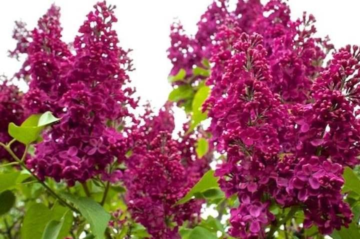 Ветки фиолетовой сирени