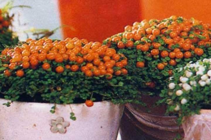 Оранжевые плоды соланума