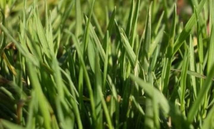 Крупным планом участок с полевицей-травой
