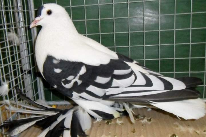 Порода голубей - Богемские космоногие