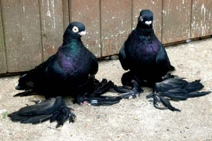 Порода голубей - Бойные