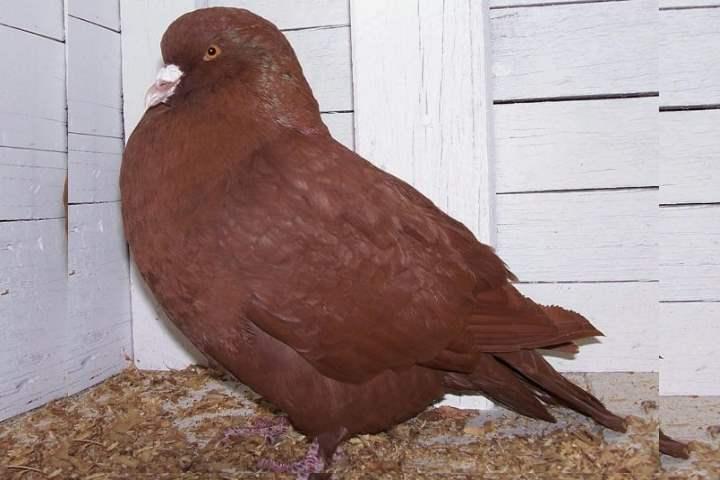 Порода голубей - Карно