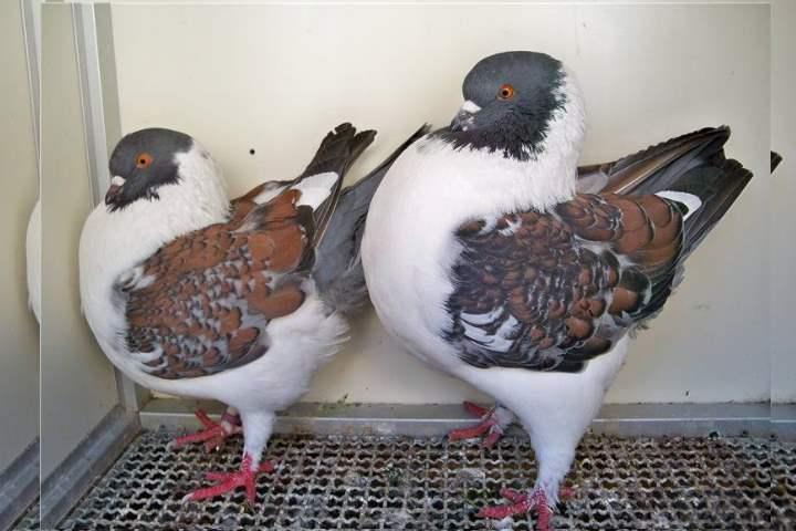 Порода голубей - Кинги