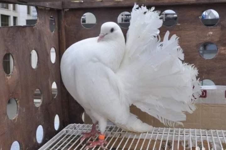 Порода голубей - Павлины