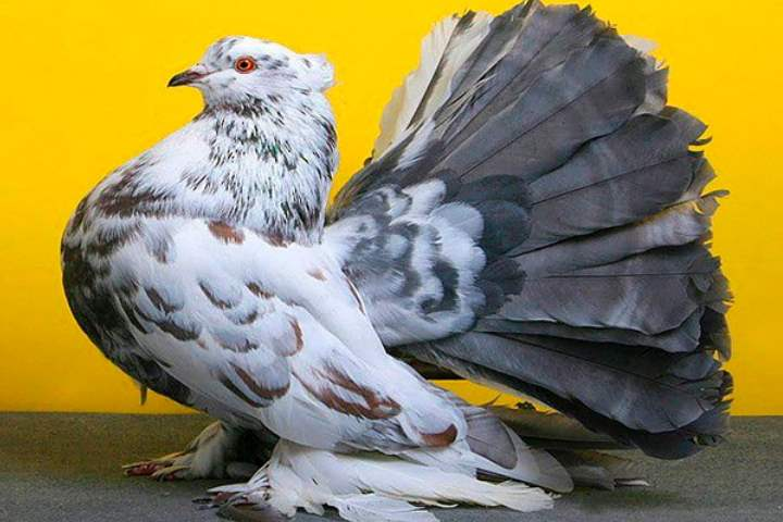 Красивый породистый голубь