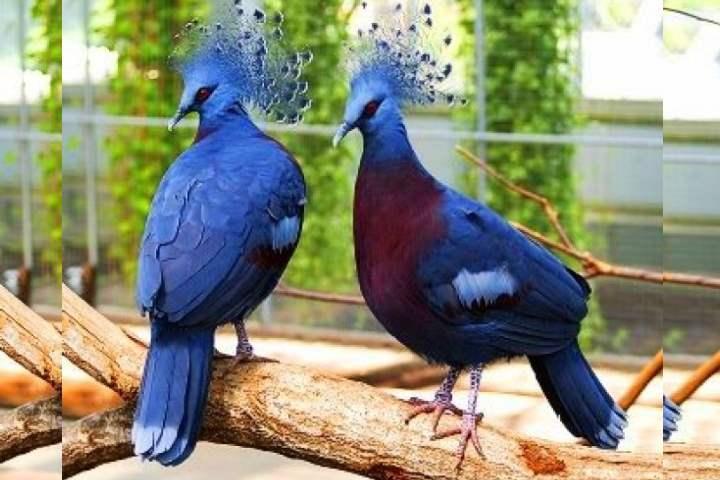 Порода голубей - Венценосные