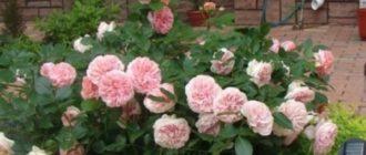 Роза Чиппендейл полуплетистая