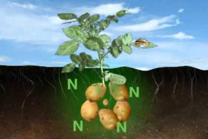 Удобрения для картофеля
